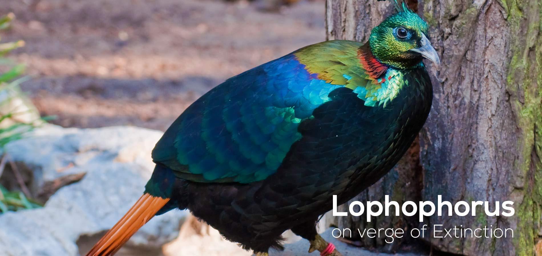 Lophophorus